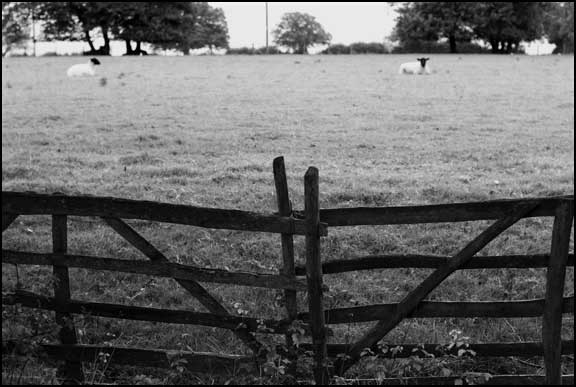 fence and sheep