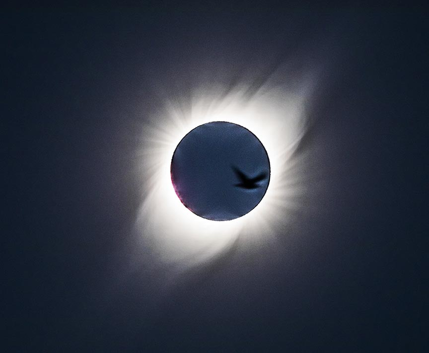 gull passing in front of eclipsed sun